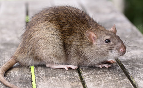 Close-up of a large rat sitting on a deck