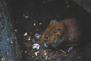 Rodent in the soil