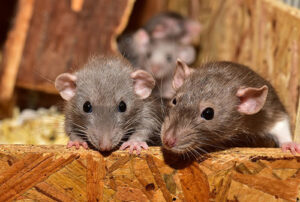 A group of rats chewing on wood