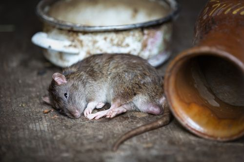 Rat curled up next to an old pot and jar on its side, potentially dying