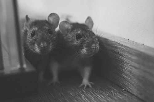 Black-and-white shot of two rats in a corner