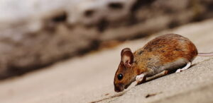 Field mouse on concrete with a slight diagonal angle