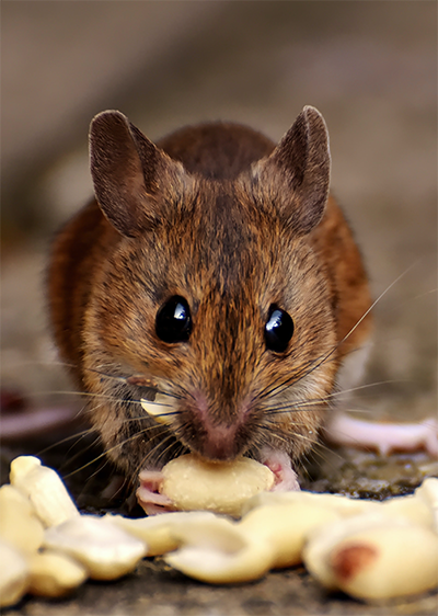 Close-up of a field mouse eating nuts