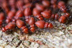 Close up shot of a colony of fire ants